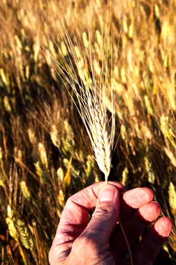 Unless a grain of wheat falls to the earth and dies, it remains just a single grain. -- John 12.24