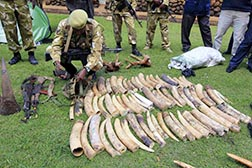 Kenya Wildlife Service officials in Nairobi Jan. 16 display recovered elephant tusks and illegally held firearms taken from poachers.