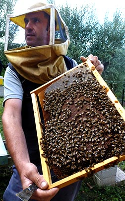 Papal beekeeper Marco Tullio Cicero shows off the honeycomb covered with worker bees making honey for Pope Francis at the papal villa at Castel Gandolfo, outside Rome.
