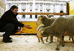 A man holds out his hand to his sheep in a temporary stall in St. Peter's Square Jan. 17. An Italian cardinal blessed a group of farm animals brought to the square by an association of farmers and ranchers.
