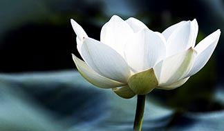 In Buddhism, the lotus flower is associated with purity, and in Hinduism with beauty. Pope Francis said religions can play an important role in protecting the environment.